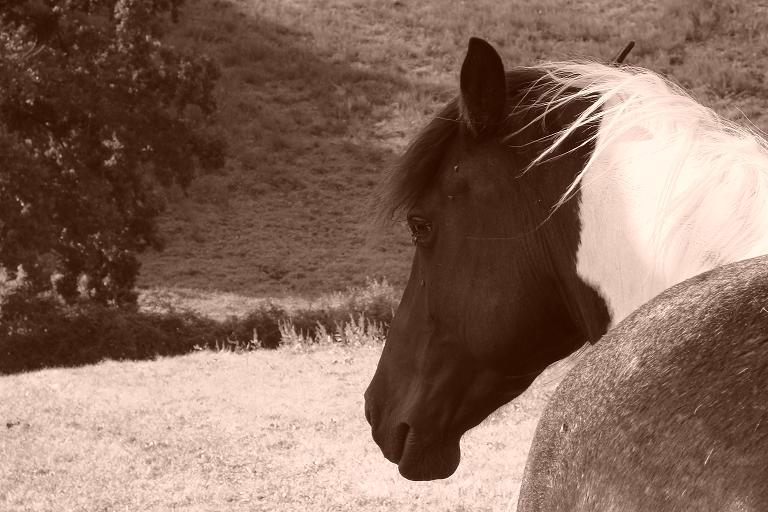 Le forum des chevaux pies Index du Forum